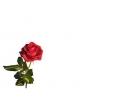 Bloemen tattoo voorbeeld Roos linksonder
