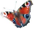 Vlinders tattoo voorbeeld Dagpauwoog